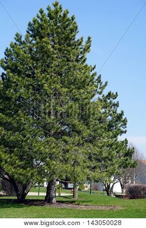 A red pine tree (Pinus resinosa), also called the Norway pine, growing in Joliet's Wesmere Country Club subdivision.
