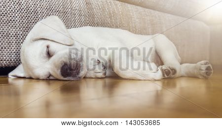 Sweet cute Labrador puppy dog sleeping on the couch in his bed