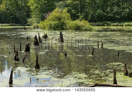 Stumps of trees in a pond surrounded by woods