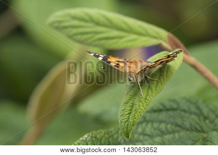 Painted Lady (Vanessa cardui) butterfly resting with open wings on a leaf of a Shrub