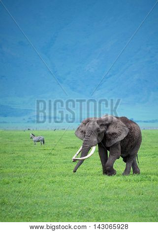Bull elephant roaming the Ngorongoro Crater of Tanzania, Africa