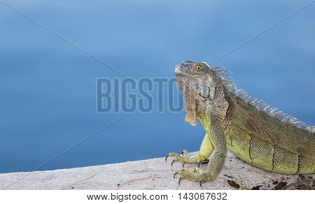 Green Iguana with urate salt on his head basking in the morning sun in South Florida