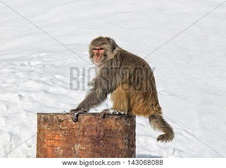 Himalayan monkey sitting on rusty barrel on white background
