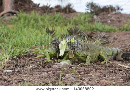 Two juveline Green Iguanas fighting over a piece of lettuce in South Florida