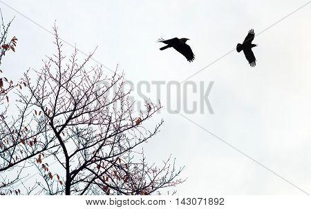 Silhouette of crows (Corvus brachyrhynchos) flying against bright sky