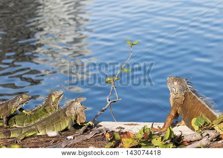 Green Iguanas showing territorial behavior in the morning sun
