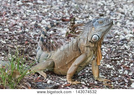 Large Green Iguana basking in the early morning sun in South Florida