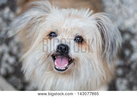 Pomeranian dog in a suspect face, cute dog