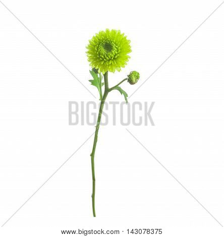 flower green chrysanthemum on a long stem with green leaves isolated white background