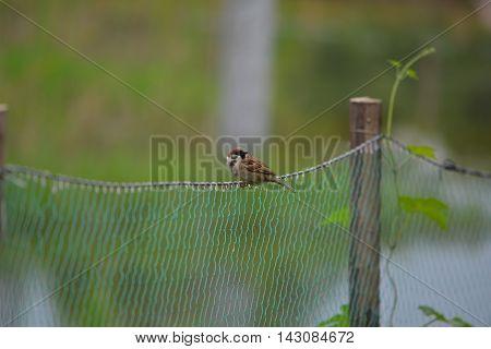 Sparrow Sitting On Net In Green Farmland