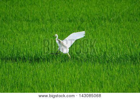 Egret Flying In Paddy Field