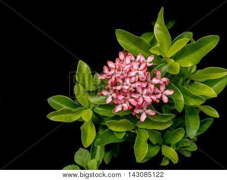 Diamond Ixora's bright pink flowers in black background