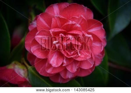 A Close Up Beautiful Camellia Flower