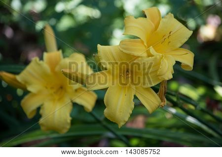 yellow lilly summer flowers in duluth minnesota