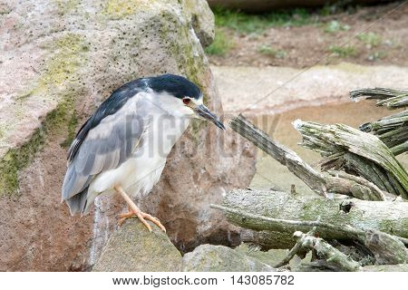 black crowned night heron scientific name Nycticorax nycticorax sitting on rocks. Side profile