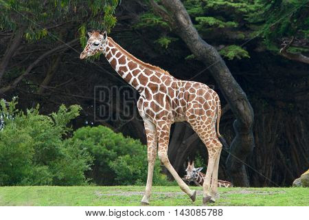 giraffe walking on grass with bushes and tall trees in background another giraffe in the distance seen between the feet of the primary giraffe