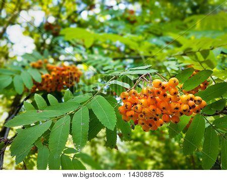 Ripe berries on a mountain ash tree