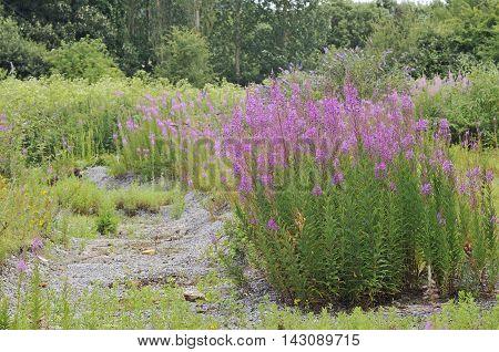 Rosebay Willowherb - Chaemerion angustifolium Growing on disused railway sidings