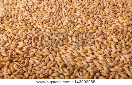 Wheat background view from the top close up