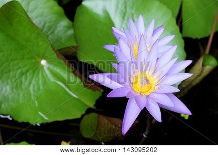 Purple Lotus Blooming In The Glade / Selective Focus