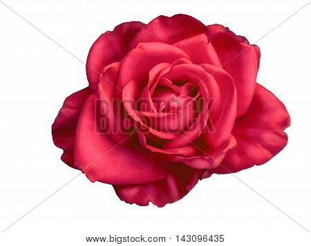 Red rose bud macro isolated on white background, neatly carved rose buds, without a shadow.