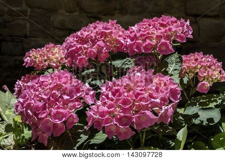hydrangea flowers, hydrangea plant with pink flower , close up photo, perspective view, flower petals very evident, natural light ,dark background of the wall