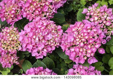 Hydrangea plant with pink flower (purple), close up photo from above , flower petals very evident, natural light,