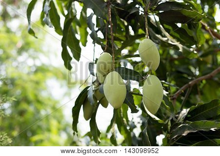 Fresh young mango fruit on a mango tree