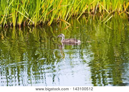 Juvenile Great Crested Grebe Swimming Near Reed