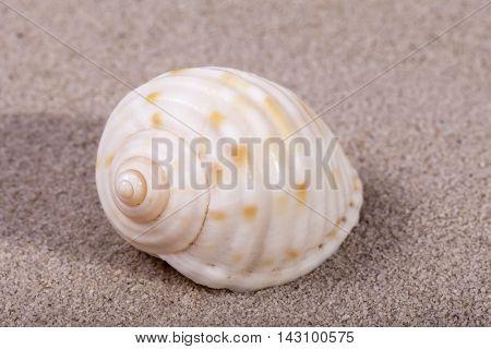 Single sea shell of marine snail lying on the sand close up