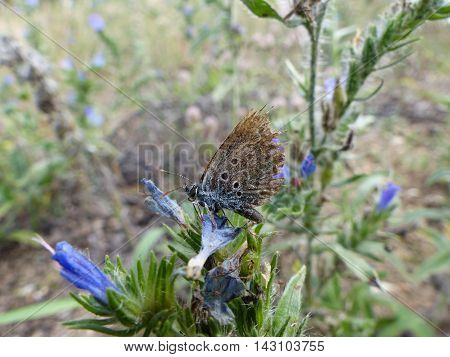 An Idas blue butterfly (Plebejus idas) with a badly damaged wing perches itself on the petals of a blue flower
