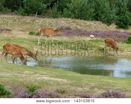 Red deer stags (cervus elaphus) drink from a small pond in a moorland
