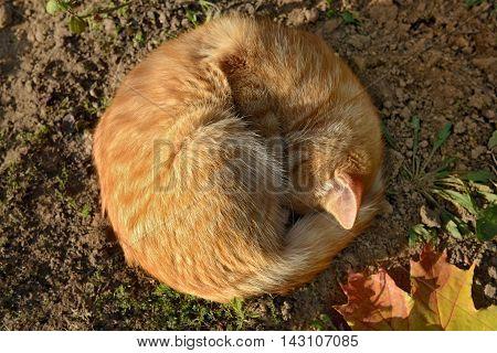Orange cat as the soft autumn sun. Sleeping cat and maple leaf.