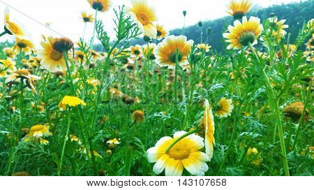 Indian Sunflowers.Only found in the hilly regions of Indian Sikkimese state