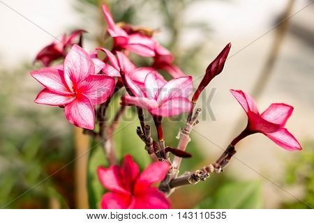 Red Plumeria or Frangipani flowers blooming in the garden
