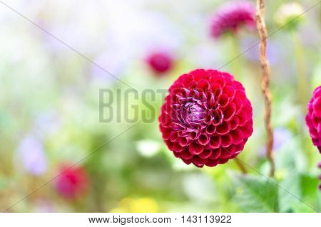 Pink dahlia flowers with selective focus and copy space. Flower background.