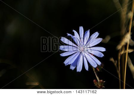 Single blue chicory medicinal detox flower on a stem on a green background
