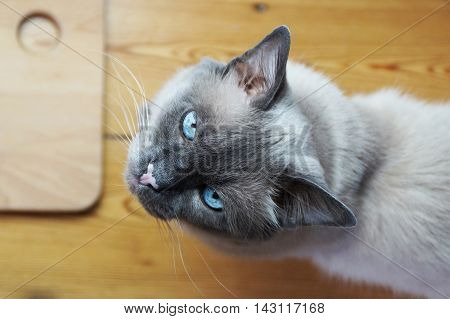 A Siamese blue eyed old male cat looking up. Partial view, from the top