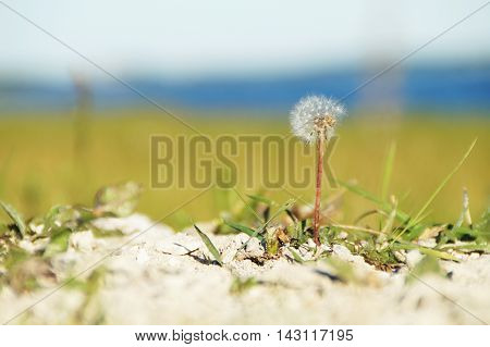 A closeup single partially seedless dandelion with blades of green grass standing on a patch of sand in focus in front of a blurry grass sea and sky background