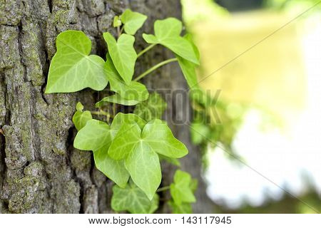 Ivy growing on a tree trunk, nature scene with selective focus.