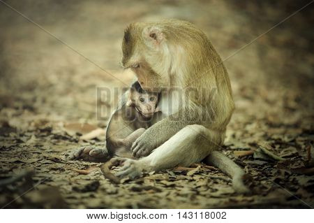 Mother of the newborn monkey which is held in the arms and breastfeeding.