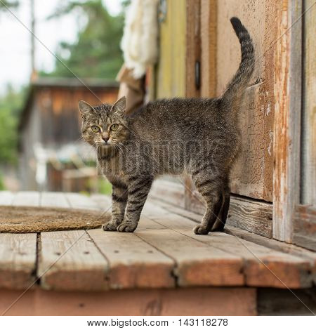Cat on the porch of a village house.