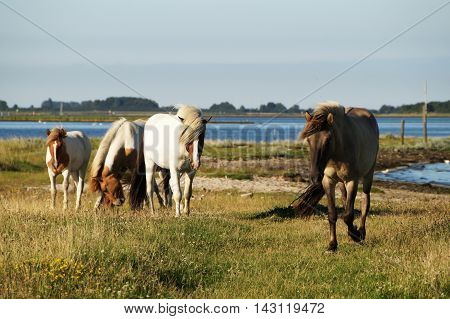 Five mature and young horses brown and while with patches and light colored mane blown by the wind graze and move on an green island surrounded by blue sea