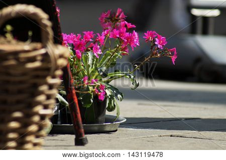 Purple flowers in focus in background sitting in a black plastic pot on a metallic dish on the concrete paved ground. Partial view. In the foreground is a furniture metallic leg and a brown reed basket blurred.