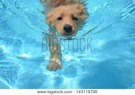 An adorable golden retriever pup swimming in a pool.