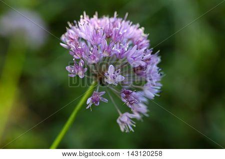 Flowers of a witch garlic plant (Allium carinatum).