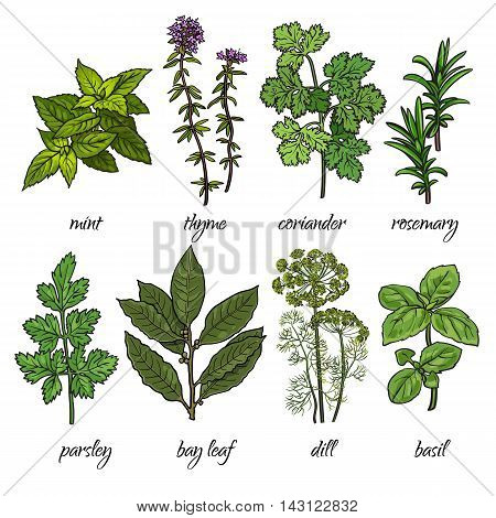 Set of cooking herbs - rosemary, mint, thyme, coriander, parsley, dill, bay leaf and basil. Isolated sketch style illustration on white background. Traditional herbs for cooking delicious food