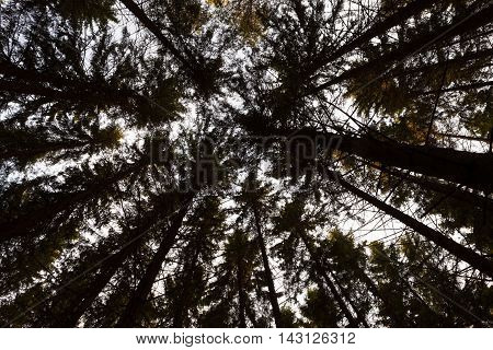 Old spruce top troop against sky in coneferous forest in an autumn day