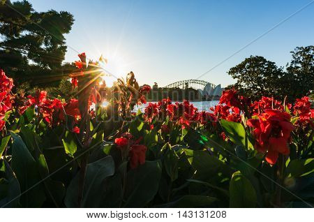 Sydney Harbour Bridge on sunset surrounded with red canna flowers and beaming sun on the background
