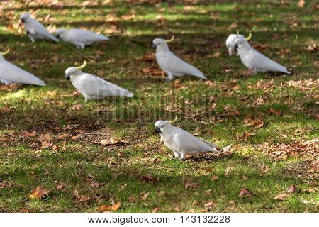 Sulphur crested Cockatoo on a green grass with autumn leaves. White and yellow birds on autumn background